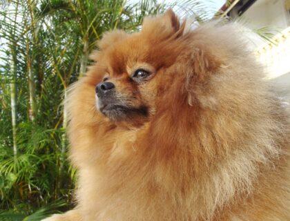 Rambo, Pomeranian, Dog, Spitz Type, Nordic DescentRambo Pomeranian Dog Spitz Type Nordic Descent